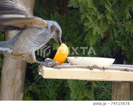 羽ばたきながら餌台のミカンをついばむヒヨドリ 74515678