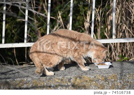 ごはんのカリカリを食べているトラ猫 74516738