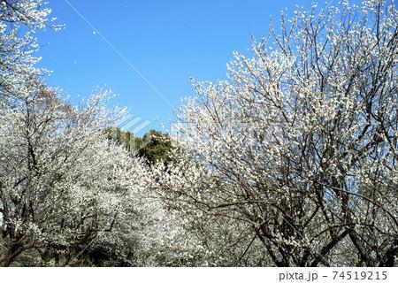 クラシックレンズで撮影した白梅の林 74519215