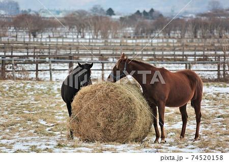 冬の牧場・サラブレッド 74520158