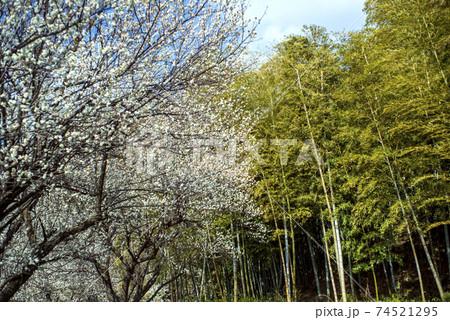 青空のもと、竹林の横に白梅の咲く二月 74521295