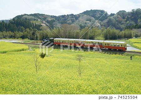 菜の花畑の間をのんびり走る小湊鉄道のトロッコ列車 74525504