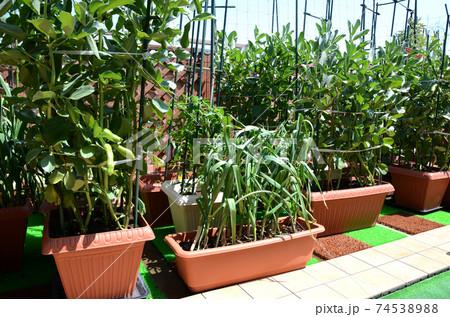 春の家庭菜園 ソラマメ&ニンニク 74538988