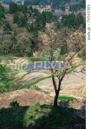 棚田のわきに立つ1本の木と遠くに見える森の木々 74543363