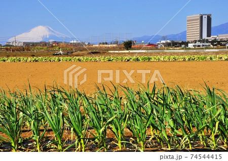 神奈川県藤沢市 冬晴れ富士山と日本大学生物資源科学部校舎 74544415