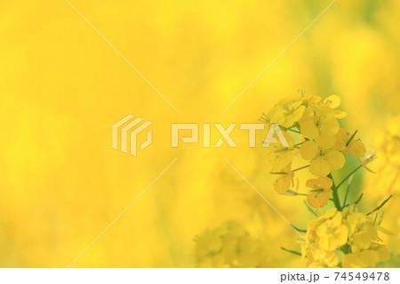 春、菜の花畑で黄色に染まる菜の花 74549478