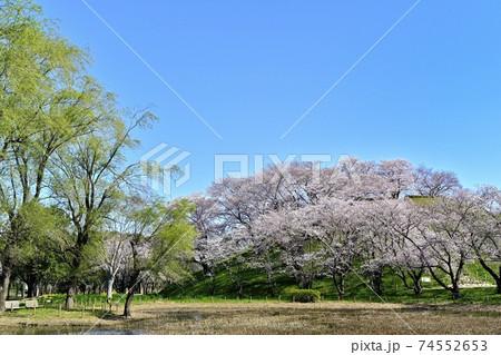 桜咲く埼玉古墳公園の睡蓮池に丸墓山古墳 74552653
