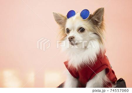 赤い服を着て頭にサングラスをかけて微笑む白いチワワのバストアップ 74557060