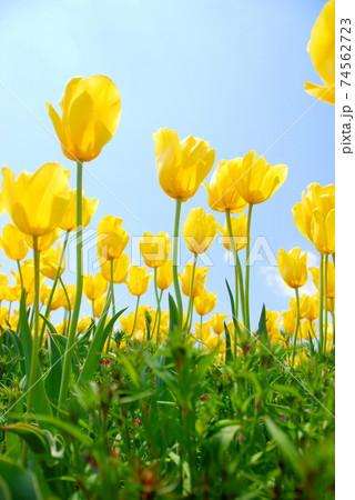 【兵庫県 加西市】黄色のチューリップと青空 74562723
