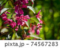 Red flowers of apple tree 74567283