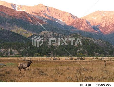 朝日が当たる山を背景に草原に立つオスのエルク 74569395