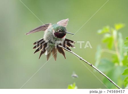 枝にとまり尾羽を広げてポーズするフトオハチドリのオス 74569457