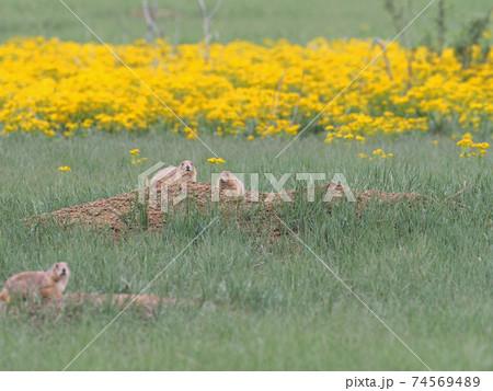 黄色い花畑を背景に巣穴から姿を出すオグロプレーリードック達 74569489