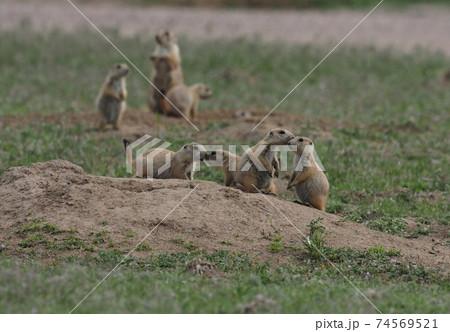 草原の巣の上で家族を確かめ合うプレーリードック達 74569521