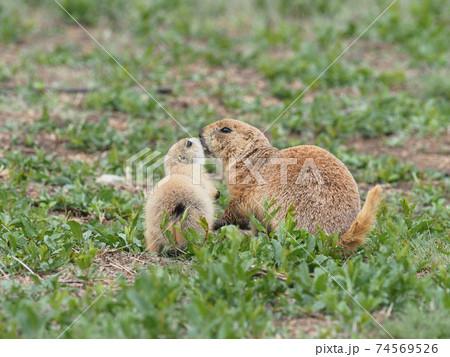 草原でチュッツをするオグロプレーリードックの親子 74569526