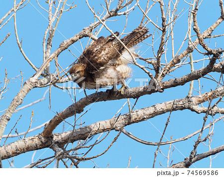 枝から飛び立とうとするアカオノスリ 74569586