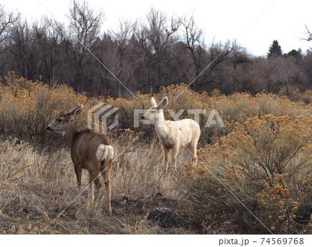 白いミュール鹿と茶色いミュール鹿 74569768