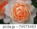 バラの花クローズアップ 74573463