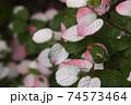 ミヤママタタビ 74573464