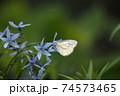 青い花とチョウチョ 74573465