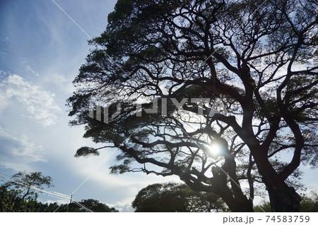 マウイ島の大きな木から除く木漏れ日 74583759
