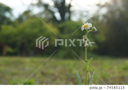 春に見かけるハルジオン・貧乏草・右寄り長め 74585115