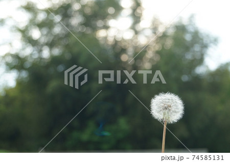 春の花タンポポ綿毛綺麗な丸。右寄せ 74585131