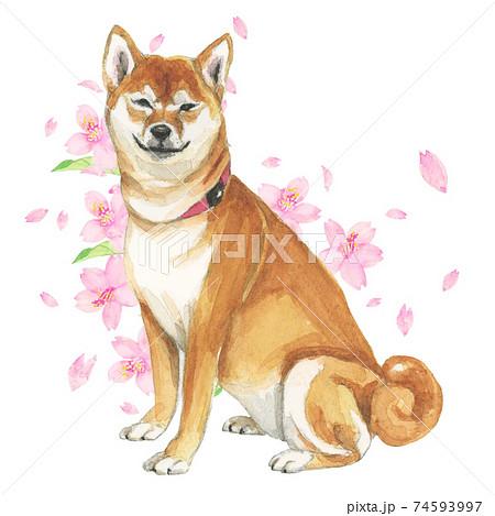 微笑む柴犬と桜 手描き水彩画 74593997