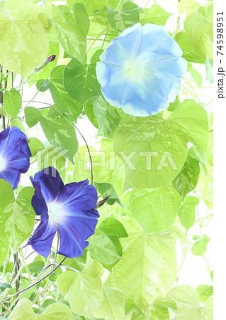 青色のアサガオ2種 明るい緑背景 74598951