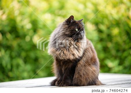 尾道の野良猫(毛の長い黒猫) 74604274