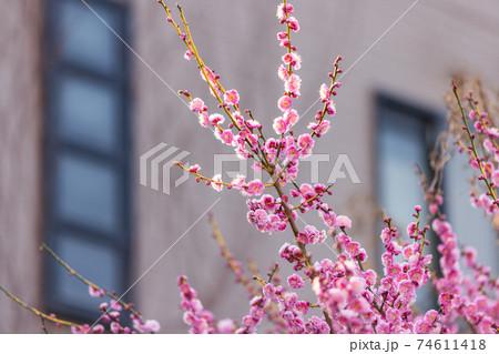 家の庭に咲く早春の紅梅のクローズアップ 74611418