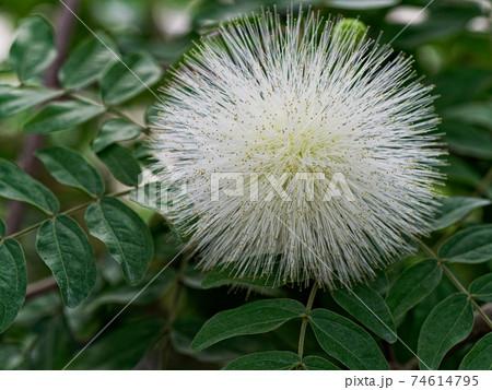 熱帯植物 オオベニゴウカン 74614795