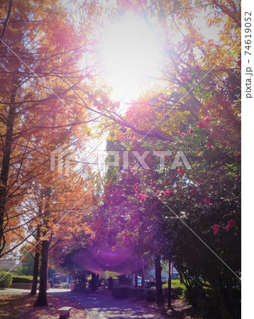 逆光の遊歩道・メタセコイアと山茶花 74619052