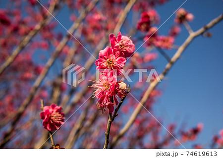 早春の梅林の中のピンク色の梅の花 大阪府堺市の荒山公園 74619613