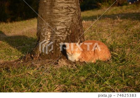 公園の桜の木の下で居眠りをする茶色の野良猫 74625383
