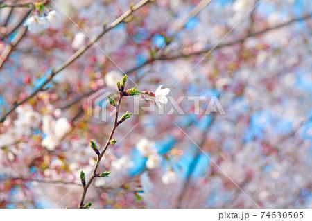 <春イメージ>青空に映える満開の桜のアップ 74630505