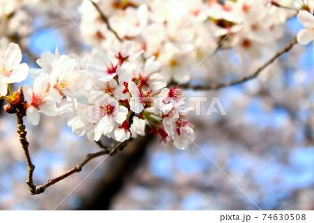 <春イメージ>青空に映える満開の桜のアップ 74630508