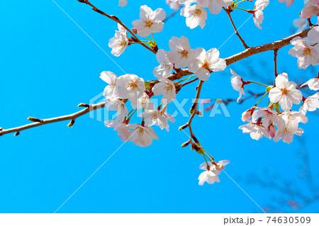 <春イメージ>コントラスト高めの青空と満開の桜のアップ 74630509