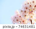 夕日に照らされた右側に満開の桜(コピースペースあり) 74631481