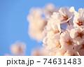 青空と右側に満開の桜(コピースペースあり) 74631483