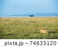 野生のライオン (アフリカ) 74633120