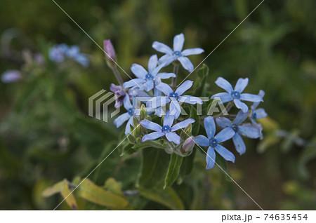 ブルースター(ルリトウワタ)の青い花が咲いています。学名はOxypetalum coeruleum 74635454
