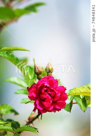 赤いバラの花 74648341