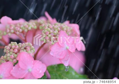 初夏の花 雨に濡れたピンクの紫陽花 74648954