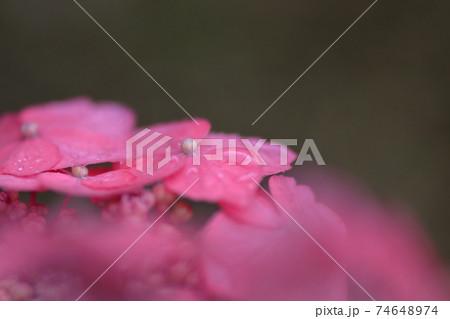 雨に濡れたピンクの額紫陽花のクローズアップ 74648974