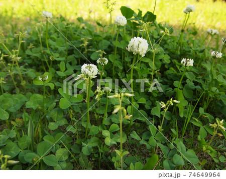 クローバーを斜め上から見た葉と花 74649964