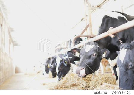 鼻の穴を舐める牛(ホルスタイン) 74653230