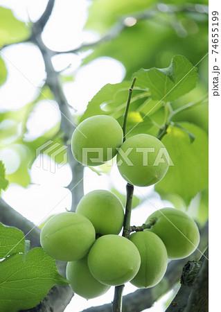 初夏の色-梅、梅の果実と若葉の新緑風景 74655199