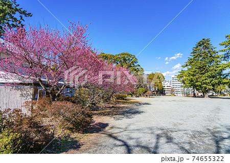 【神奈川県】小田原城址公園の二の丸広場に咲く梅の花 74655322