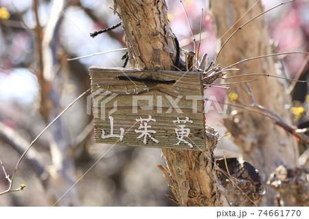 樹木 山茱萸(さんしゅゆ)(春黄金花) 74661770